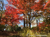 紅葉飄飄15日東京自由行--殿ヶ谷戸庭園:30●深秋楓葉,如火如荼、如烈燄灼燒一般無窮盡的美麗.JPG