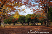 紅葉飄飄15日東京自由行--代代木公園:31●不同層次紅的櫸樹林,帶來獨有的美好氛圍.JPG