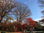 紅葉飄飄15日東京自由行--殿ヶ谷戸庭園:37●前景是楓紅,背景是藍天的好風光.JPG