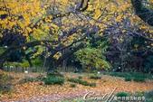 紅葉飄飄15日東京自由行--我在小石川植物園:51●不必耐心排隊等候,筆直的銀杏只屬於眼前經過的那個人,鋪下的金黃色地毯任人流漣.JPG