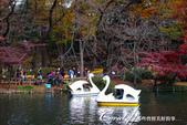 井之頭恩賜公園內的人氣設施─天鵝船:DSC06956.JPG