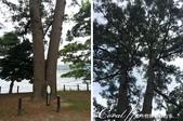 在水一方--初秋記遊之丹後天橋立海上沙洲閒情散策:●一棵從母株分為兩棵的筆直黑松,被命名為「夫婦松」01.JPG