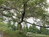 初秋記遊之遺世獨立的竹田城遺跡:●近入秋季的櫻花樹.JPG