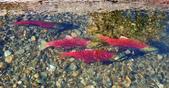 2018加拿大四年一度鮭魚洄遊V.S.洛磯山脈國家公園健走趣(5-2)--亞當河鮭魚寫真:04.jpg