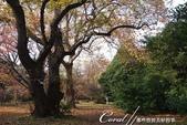 紅葉飄飄15日東京自由行--閃耀著童話森林般迷人色彩的小石川植物園:18●樹的千姿百態.JPG
