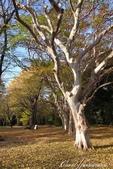 紅葉飄飄15日東京自由行--閃耀著童話森林般迷人色彩的小石川植物園:22●樹的千姿百態.JPG