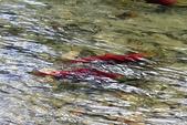 2018加拿大四年一度鮭魚洄遊V.S.洛磯山脈國家公園健走趣(5-2)--亞當河鮭魚寫真:06.jpg
