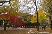 紅葉飄飄15日東京自由行--代代木公園:33●不同層次紅的櫸樹林,帶來獨有的美好氛圍.JPG