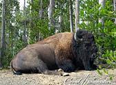2019自駕隨性之旅(06)--100個死前必去景點之黃石國家公園巨獸出沒:05●以安全的距離觀察美洲野牛一陣,發現牠吃飽了也會停下打個盹,非常有趣.JPG