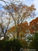 紅葉飄飄15日東京自由行--閃耀著童話森林般迷人色彩的小石川植物園:27●樹的千姿百態.JPG