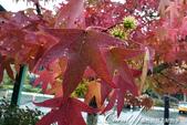 2018加拿大四年一度鮭魚洄遊V.S.洛磯山脈國家公園健走趣(7)--滿園爭奇鬥豔的花木:Acer palmatum 槭.JPG