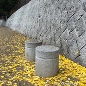 紅葉飄飄15日東京自由行--閃耀著童話森林般迷人色彩的小石川植物園:03●植物園的圍籬外,灑落一地的銀杏.JPG