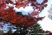 殿ヶ谷戸庭園的深秋楓葉,如火如荼、如烈燄灼燒一般無窮盡的美麗:02.JPG