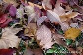 小石川植物園以極優美姿態翩翩落下的樹葉:05.JPG