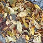 小石川植物園以極優美姿態翩翩落下的樹葉:06.jpg