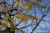 紅葉飄飄15日東京自由行--大学通り:06●這條人來人往的大道上,灑滿一地銀杏,一股腦兒接受楓紅洗禮的同時,幾乎忘了黃澄澄的銀杏也是秋的代表性植物.