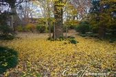 紅葉飄飄15日東京自由行--我在小石川植物園:50●不必耐心排隊等候,筆直的銀杏只屬於眼前經過的那個人,鋪下的金黃色地毯任人流漣.JPG