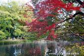 紅葉飄飄15日東京自由行--井之頭恩賜公園:15●湖水、步道、與紅葉所交織成的獨特景色,隨處所至皆有不同意趣.JPG