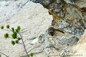 2019自駕隨性之旅(06)--100個死前必去景點之黃石國家公園(峽谷、瀑布篇):09●在黃石峽谷岩層間靈活兜轉的花栗鼠 Chipmunk,必需留心觀察才能在岩縫間發現牠們小巧可愛的身姿.JPG