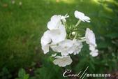 2018印象翻轉的俄羅斯奇幻之旅(3-3)--點綴花圃裡的各色天竺葵、大理菊與薔薇:白色天竺葵.JPG