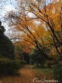 紅葉飄飄15日東京自由行--閃耀著童話森林般迷人色彩的小石川植物園:32●無論是金黃色的康莊大道,或是帶點遐想通往未知的枯黃色林蔭,園區內處處都精采.JPG