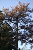 紅葉飄飄15日東京自由行--聚集正能量的香取神宮之旅:30●境內有一株天皇親手種下的松樹,非常高大02.JPG
