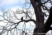 紅葉飄飄15日東京自由行--我在小石川植物園:40●枯枝上的烏鴉.JPG