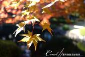紅葉飄飄15日東京自由行--大田黑公園:16●秋的紅葉,將池畔點綴到近乎夢幻的境界.JPG