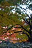 紅葉飄飄15日東京自由行--大田黑公園:28●庭園內栽種著杉樹、櫸樹等百年樹木,因此成為東京紅葉名所之一.JPG