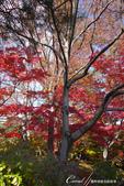 紅葉飄飄15日東京自由行--殿ヶ谷戸庭園:29●深秋楓葉,如火如荼、如烈燄灼燒一般無窮盡的美麗.JPG
