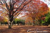 紅葉飄飄15日東京自由行--代代木公園:30●不同層次紅的櫸樹林,帶來獨有的美好氛圍.JPG