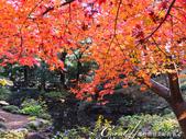 紅葉飄飄15日東京自由行--殿ヶ谷戸庭園:11●繞行弁天池一週,幾許涼意,幾許詩意.JPG