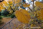 小石川植物園以極優美姿態翩翩落下的樹葉:03.JPG
