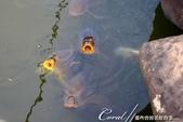 紅葉飄飄15日東京自由行--我在小石川植物園:33●池塘裡也少不了逢人經過必定張嘴討吃的肥大鯉魚.JPG
