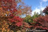 紅葉飄飄15日東京自由行--殿ヶ谷戸庭園:38●前景是楓紅,背景是藍天的好風光.JPG