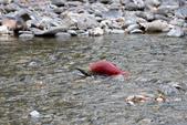 2018加拿大四年一度鮭魚洄遊V.S.洛磯山脈國家公園健走趣(5-2)--亞當河鮭魚寫真:05.jpg