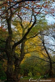 紅葉飄飄15日東京自由行--閃耀著童話森林般迷人色彩的小石川植物園:25●樹的千姿百態.JPG