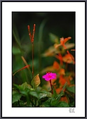 花花樹界:偶然的羞紅