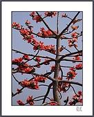春之木棉:R3-01