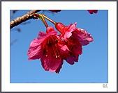 花花樹界:櫻紅