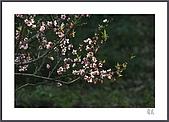 花花樹界:桃花爭豔
