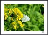 花花樹界:螳螂捕蟬