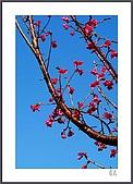 花花樹界:也是櫻紅-2