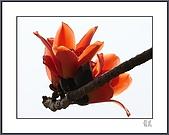 春之木棉:H1-05
