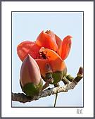 春之木棉:H1-07