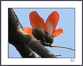 春之木棉:H1-09