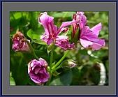 花花樹界(II):盛開之後的(天竺葵)