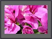 花花樹界(II):豔彩的(天竺葵)