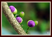拈花惹草[II]:紫色的誘惑