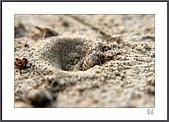 花花樹界:蟻獅〔沙豬〕